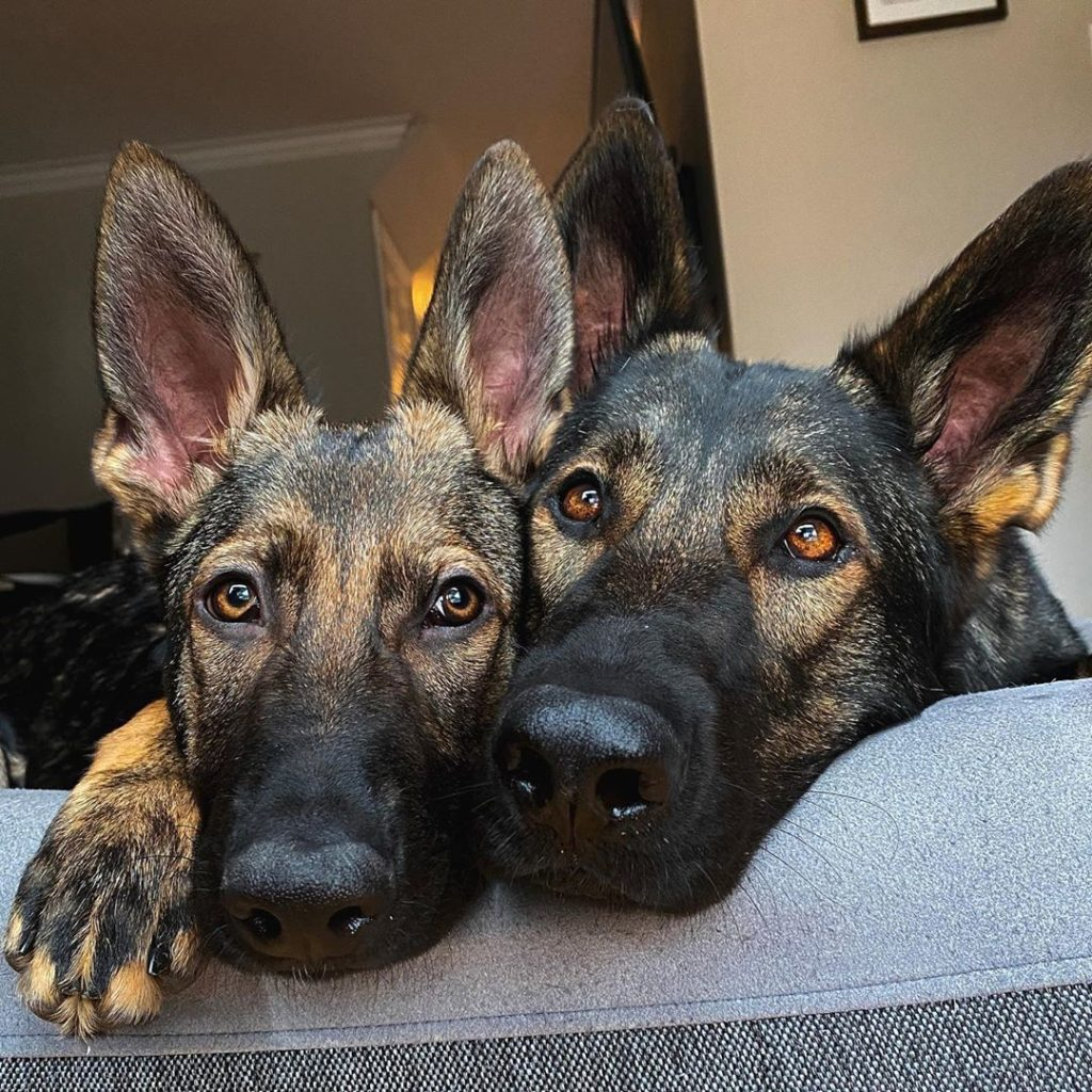 Picture of Jade & Jasper from Jade the Sable GSD