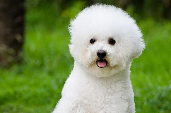 the cutest dog breed 2020 - bichon frise