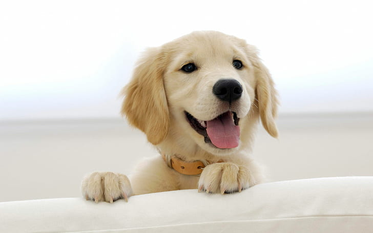 the cutest dog breed 2020 - golden retriever puppy