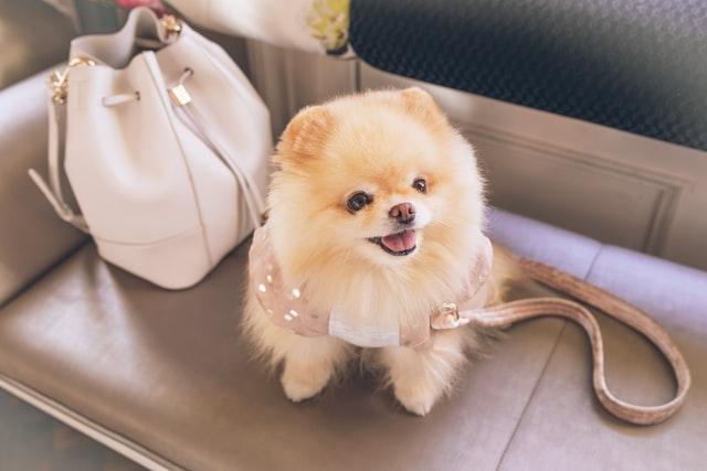 the cutest dog breed 2020 - pomeranian