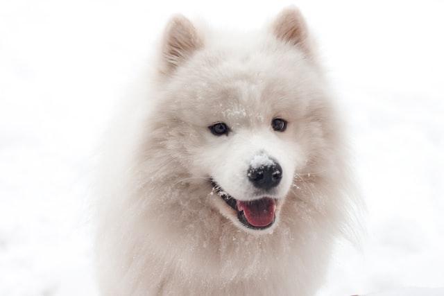 the cutest dog breed 2020 - samoyed