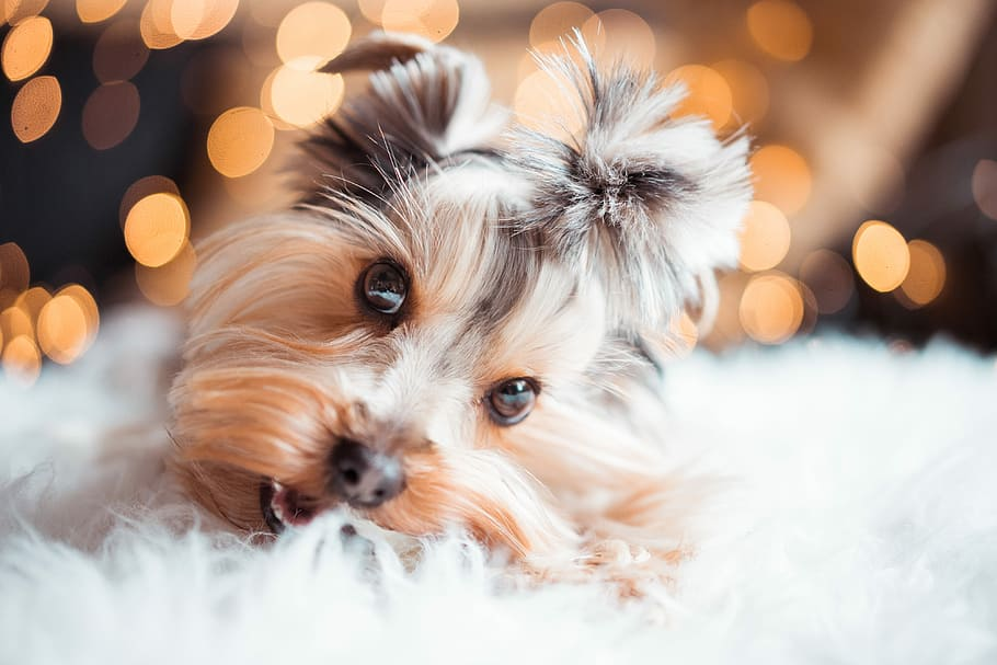 the cutest dog breed 2020 - yorkshire terrier