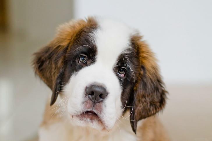 the cutest dog breed - saint bernard